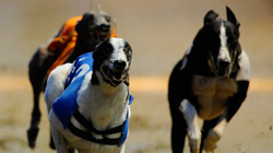 Greyhounds Betting Odds